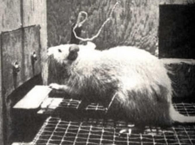 rat-cocain